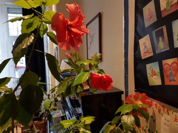 Drei Hibiskusblüten in meiner Praxis am 22. Januar 2017!
